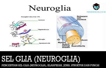 sel-glia
